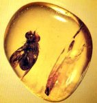 natural amber with insect Poland